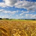 Timori di Coldiretti per ingenti importazioni di grano dal Canada