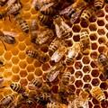 Ancora in flessione la produzione di miele: sconvolte le api in Puglia per il clima pazzo