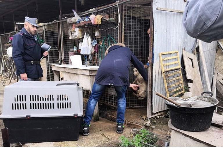 Cani malnutriti e feriti, sigilli ad un allevamento di San Ferdinando di Puglia