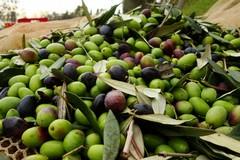 Olio d'oliva, Coldiretti Puglia mette in guardia sulle frodi