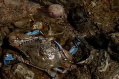 Nel fiume Ofanto avvistato granchio blu «In pericolo la biodiversità»