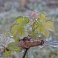 Maltempo, a San Ferdinando il gelo distrugge vigneti e frutteti