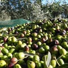 Prezzi delle olive a picco, il MNS: «Occorre fare protezionismo»