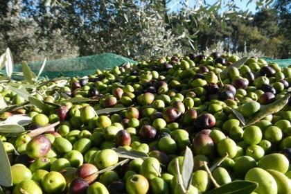 Furto di olive